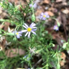 Vittadinia muelleri (Narrow-leafed New Holland Daisy) at Gossan Hill - 12 Feb 2021 by goyenjudy