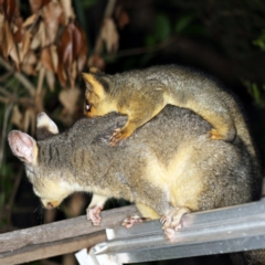 Trichosurus vulpecula (Common Brushtail Possum) at O'Connor, ACT - 10 Feb 2021 by ibaird