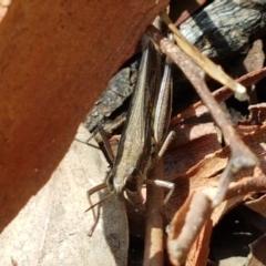 Unidentified Grasshopper (several families) (TBC) at Mundoonen Nature Reserve - 13 Feb 2021 by tpreston