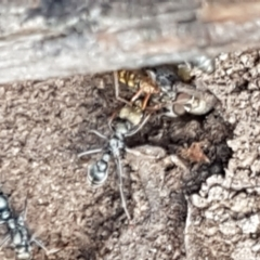 Myrmecia sp., pilosula-group (Jack jumper) at Mundoonen Nature Reserve - 13 Feb 2021 by tpreston
