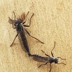 Cerdistus sp. (genus) (Robber fly) at Lade Vale, NSW - 12 Feb 2021 by tpreston