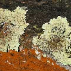 Parmeliaceae (A lichen family) at Mundoonen Nature Reserve - 12 Feb 2021 by tpreston