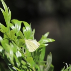 Pieris rapae (Cabbage White) at Cook, ACT - 12 Feb 2021 by Tammy