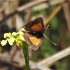 Lucia limbaria (Chequered Copper) at Tharwa, ACT - 13 Feb 2021 by JohnBundock