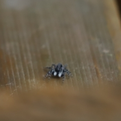 Clynotis severus (Stern Jumping Spider) at Cook, ACT - 13 Feb 2021 by Tammy