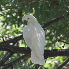 Cacatua galerita (Sulphur-Crested Cockatoo) at Albury Botanic Gardens - 13 Feb 2021 by PaulF