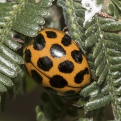 Harmonia conformis (Common Spotted Ladybird) at Higgins, ACT - 7 Feb 2021 by AlisonMilton