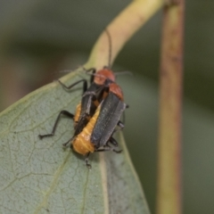 Chauliognathus tricolor (Tricolor soldier beetle) at Higgins, ACT - 8 Feb 2021 by AlisonMilton