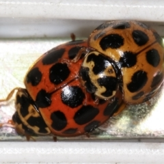 Harmonia conformis (Common Spotted Ladybird) at Melba, ACT - 11 Feb 2021 by kasiaaus