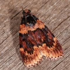 Mimaglossa nauplialis (A Pyralid moth) at Melba, ACT - 11 Feb 2021 by kasiaaus