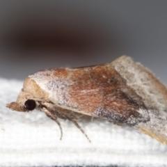 Mataeomera coccophaga at Melba, ACT - 11 Feb 2021