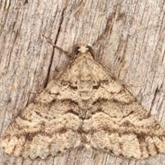 Lipogya eutheta (Grey Bark Moth) at Melba, ACT - 11 Feb 2021 by kasiaaus