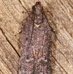 Ardozyga (genus) at Melba, ACT - 11 Feb 2021