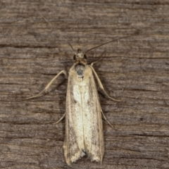 Unidentified moths group 1 at Melba, ACT - 11 Feb 2021 by kasiaaus