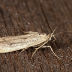 Unidentified moths group 1 at Melba, ACT - 11 Feb 2021