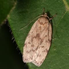 Garrha (genus) (A concealer moth) at Melba, ACT - 11 Feb 2021 by kasiaaus