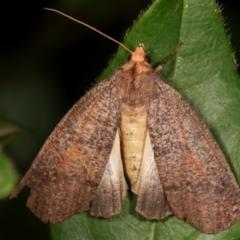 Fisera eribola (Orange-hooded Crest-moth) at Melba, ACT - 11 Feb 2021 by kasiaaus