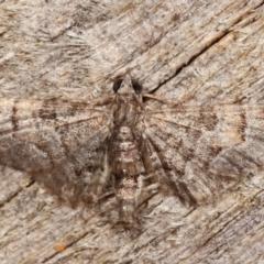 Chloroclystis (genus) (A geometer moth) at Melba, ACT - 11 Feb 2021 by kasiaaus