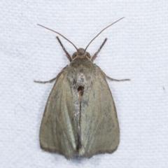 Heliocheilus (genus) (Heliothine moths) at Melba, ACT - 11 Feb 2021 by kasiaaus