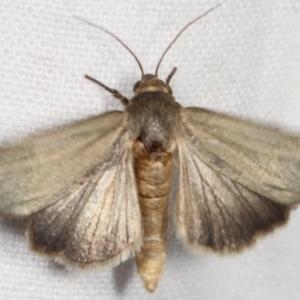 Heliocheilus (genus) at Melba, ACT - 12 Feb 2021