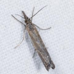 Ptochostola microphaeellus (A Crambid moth) at Melba, ACT - 11 Feb 2021 by kasiaaus