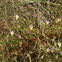 Viola arvensis (Heartsease, Field Pansy) at Kosciuszko National Park - 6 Feb 2021 by alex_watt
