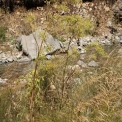 Foeniculum vulgare (Fennel) at Kosciuszko National Park - 6 Feb 2021 by alex_watt