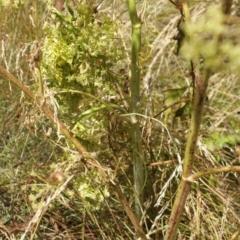 Foeniculum vulgare at Kosciuszko National Park - 7 Feb 2021