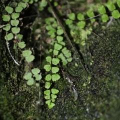 Asplenium trichomanes (Common spleenwort) at Kosciuszko National Park - 6 Feb 2021 by alex_watt