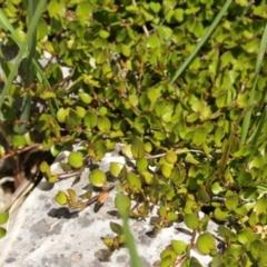 Muehlenbeckia axillaris (Matted lignum) at Kosciuszko National Park - 6 Feb 2021 by alex_watt
