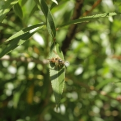 Vespula germanica (European wasp) at Kosciuszko National Park - 6 Feb 2021 by alex_watt