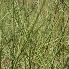 Chondrilla juncea (Skeleton Weed) at Kosciuszko National Park - 6 Feb 2021 by alex_watt