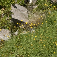 Coronidium monticola at Kosciuszko National Park - 6 Feb 2021 by alex_watt