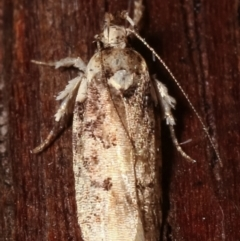 Ardozyga (genus) at Melba, ACT - 12 Feb 2021