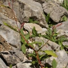 Persicaria lapathifolia (Pale Knotweed) at Kosciuszko National Park - 6 Feb 2021 by alex_watt