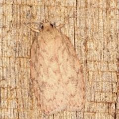 Garrha repandula (A Concealer moth) at Melba, ACT - 11 Feb 2021 by kasiaaus