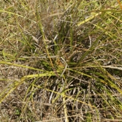 Carex sp. at Kosciuszko National Park - 7 Feb 2021