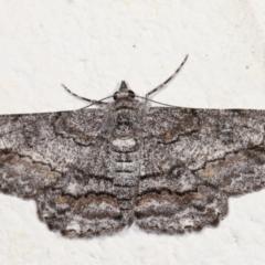 Cleora displicata (A Geometrid moth) at Melba, ACT - 12 Feb 2021 by kasiaaus