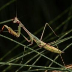 Mantodea sp. (order) (Unidentified praying mantis) at Melba, ACT - 12 Feb 2021 by kasiaaus