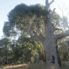 Eucalyptus pauciflora subsp. pauciflora (White Sally, Snow Gum) at Kosciuszko National Park - 7 Feb 2021 by alex_watt