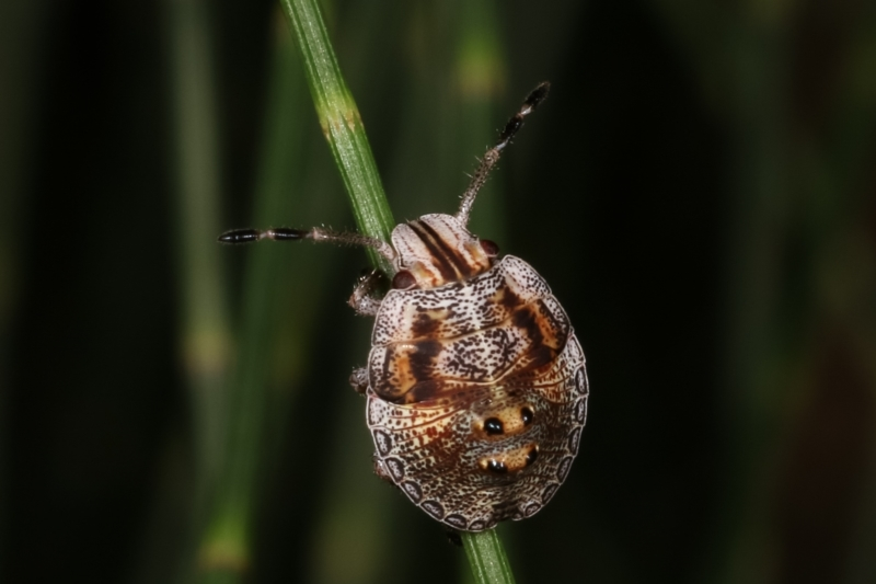 Pentatomoidea (superfamily) at Melba, ACT - 12 Feb 2021