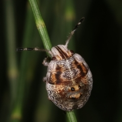 Pentatomoidea (superfamily) (Unidentified Shield or Stink bug) at Melba, ACT - 12 Feb 2021 by kasiaaus