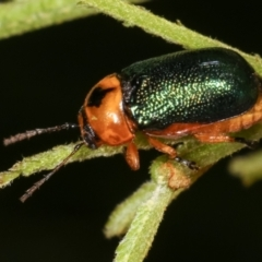 Aporocera (Aporocera) consors (A leaf beetle) at Melba, ACT - 12 Feb 2021 by kasiaaus