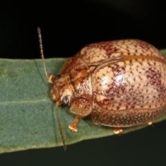Paropsis sp. (genus) (A leaf beetle) at Melba, ACT - 12 Feb 2021 by kasiaaus