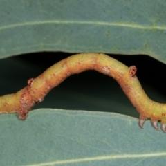 Circopetes obtusata (Grey Twisted Moth) at Melba, ACT - 12 Feb 2021 by kasiaaus