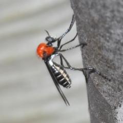 Cabasa pulchella (Robber fly) at Kosciuszko National Park - 7 Feb 2021 by Harrisi