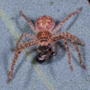 Sparassidae sp. (family) at Melba, ACT - 12 Feb 2021