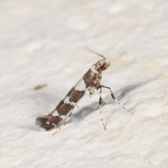 Acrocercops irrorata (A Leaf Miner (Gracillariidae)) at Melba, ACT - 12 Feb 2021 by kasiaaus