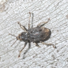 Aades cultratus (TBC) at Kosciuszko National Park - 7 Feb 2021 by Harrisi
