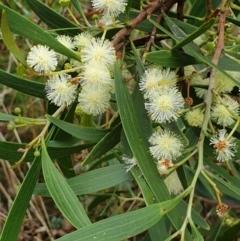 Acacia implexa (Hickory Wattle) at Mount Painter - 9 Feb 2021 by drakes